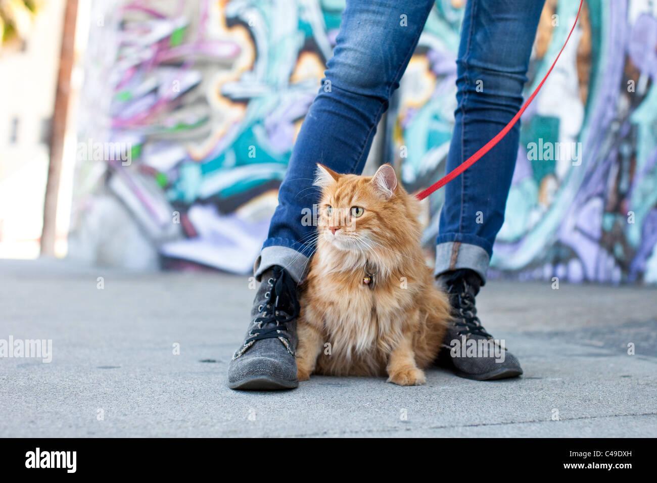 Un pequeño gato naranja longhaired en un arnés y correa sentado entre los pies de su dueño en un barrio urbano de Foto de stock