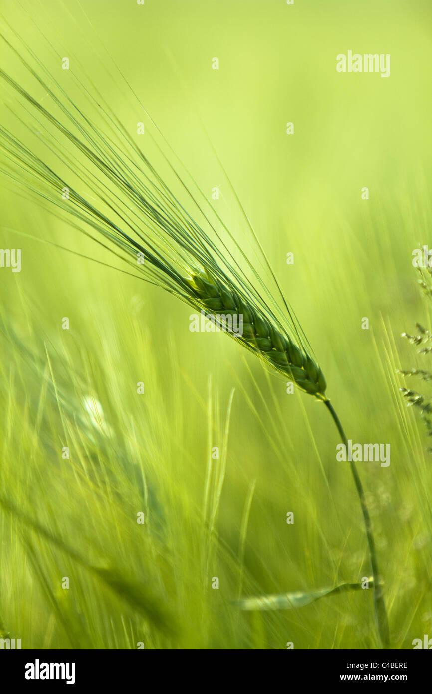 Cebada (Hordeum vulgare) Imagen De Stock