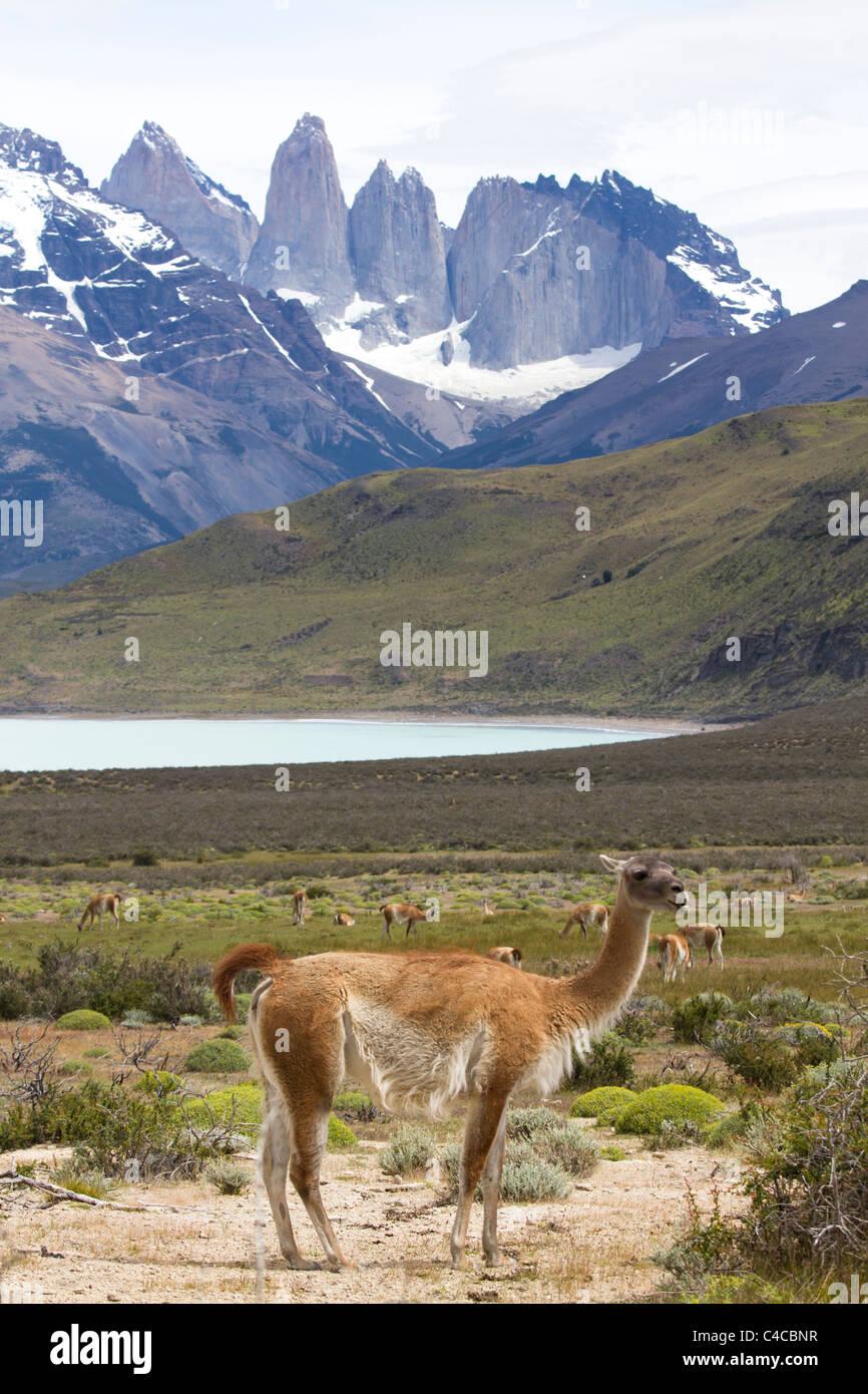 Los guanacos, Parque Nacional Torres del Paine, Chile Foto de stock