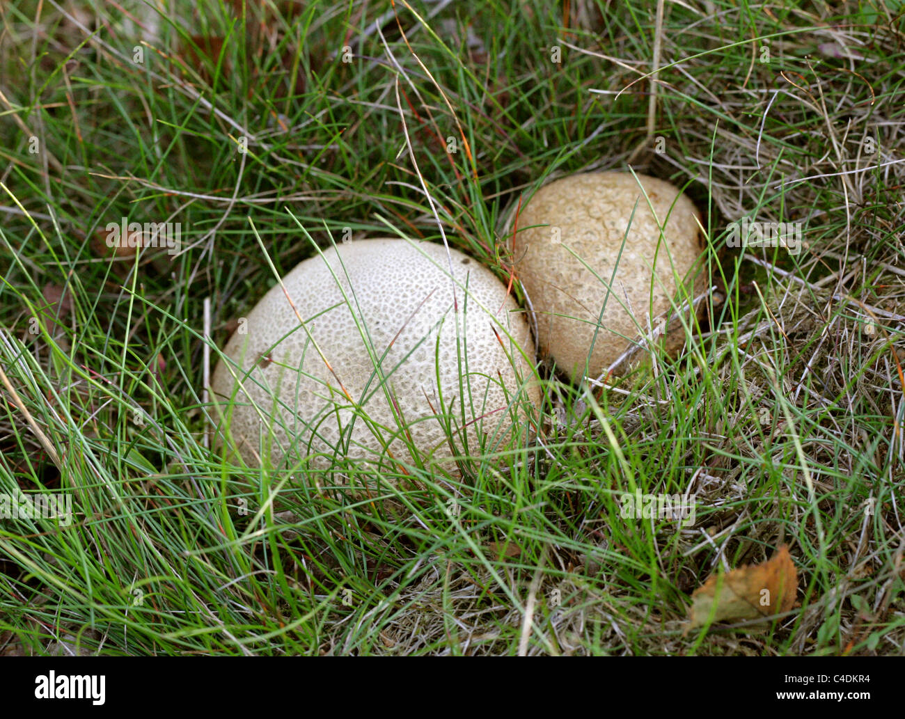 Bola de masa escamosa hongos Scleroderma verrucosum, Sclerodermataceae. Rammamere Heath, Bedfordshire, Reino Unido. Imagen De Stock
