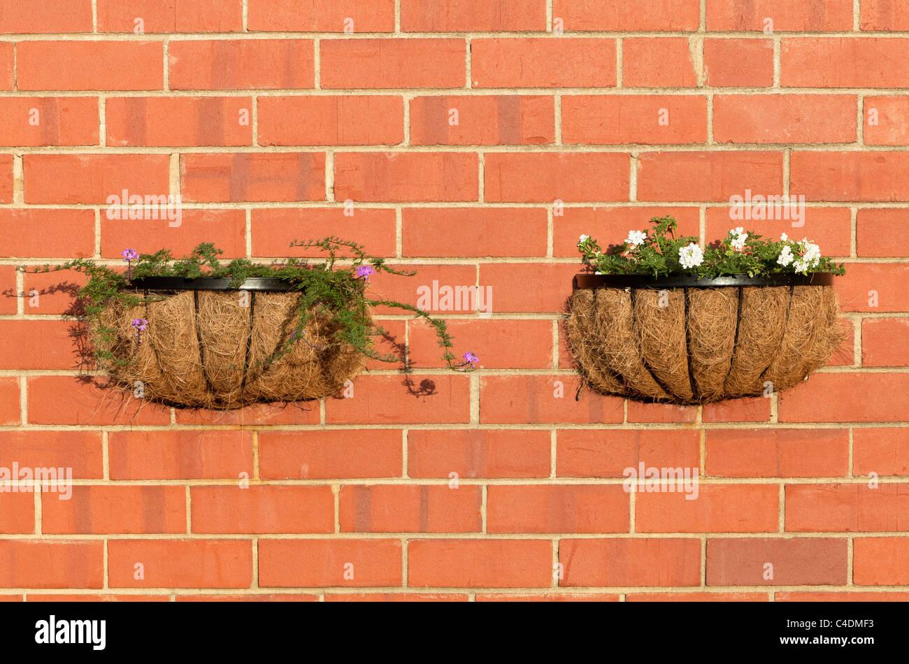Verbena flores que crecen en cestas de pared Imagen De Stock