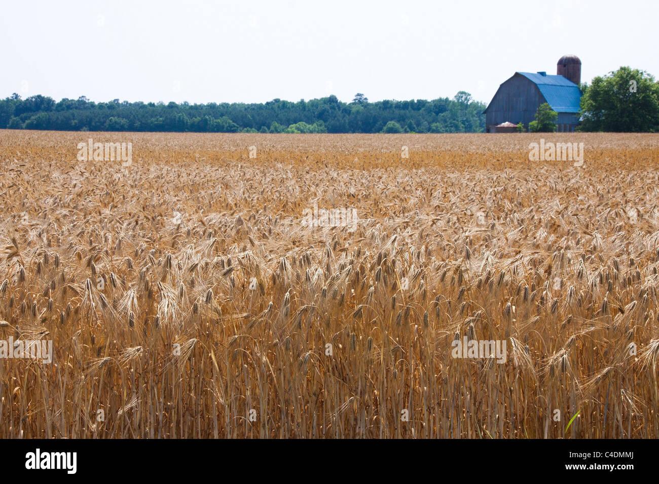 Campos de cebada la maduración, granero en distancia, Maryland Eastern Shore, EE.UU. Imagen De Stock