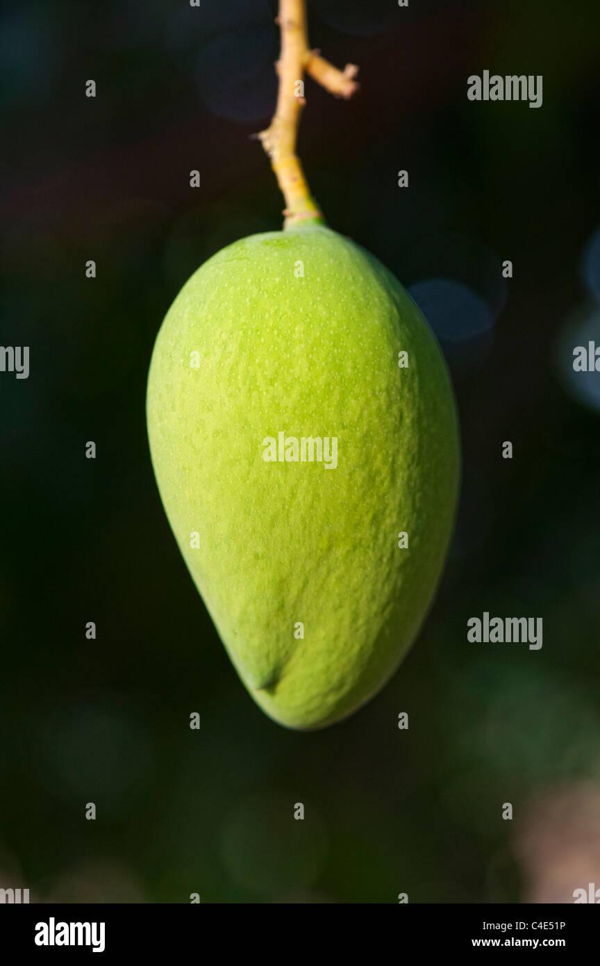 Mangifera indica. Maduración en un árbol de mango en el campo indio Imagen De Stock