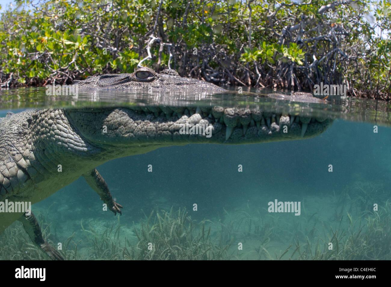 Un split-vista al agua de un cocodrilo cubano nadando a través de un bosque de manglares en las costas de Cuba. Imagen De Stock