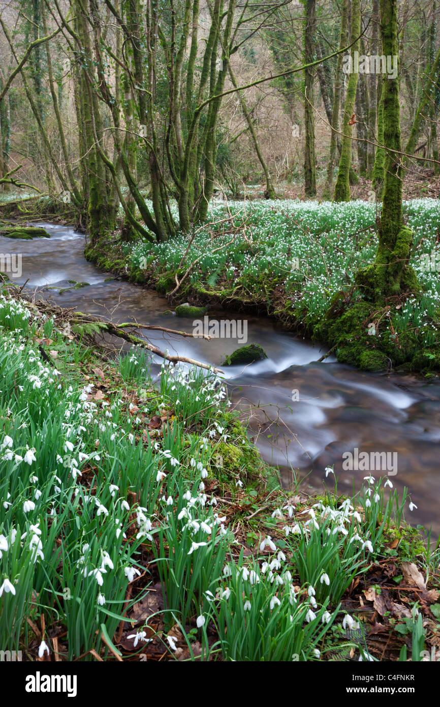 Campanillos de invierno (Galanthus) floración junto al río en el norte Avill Hawkwell Wood, conocido también Imagen De Stock