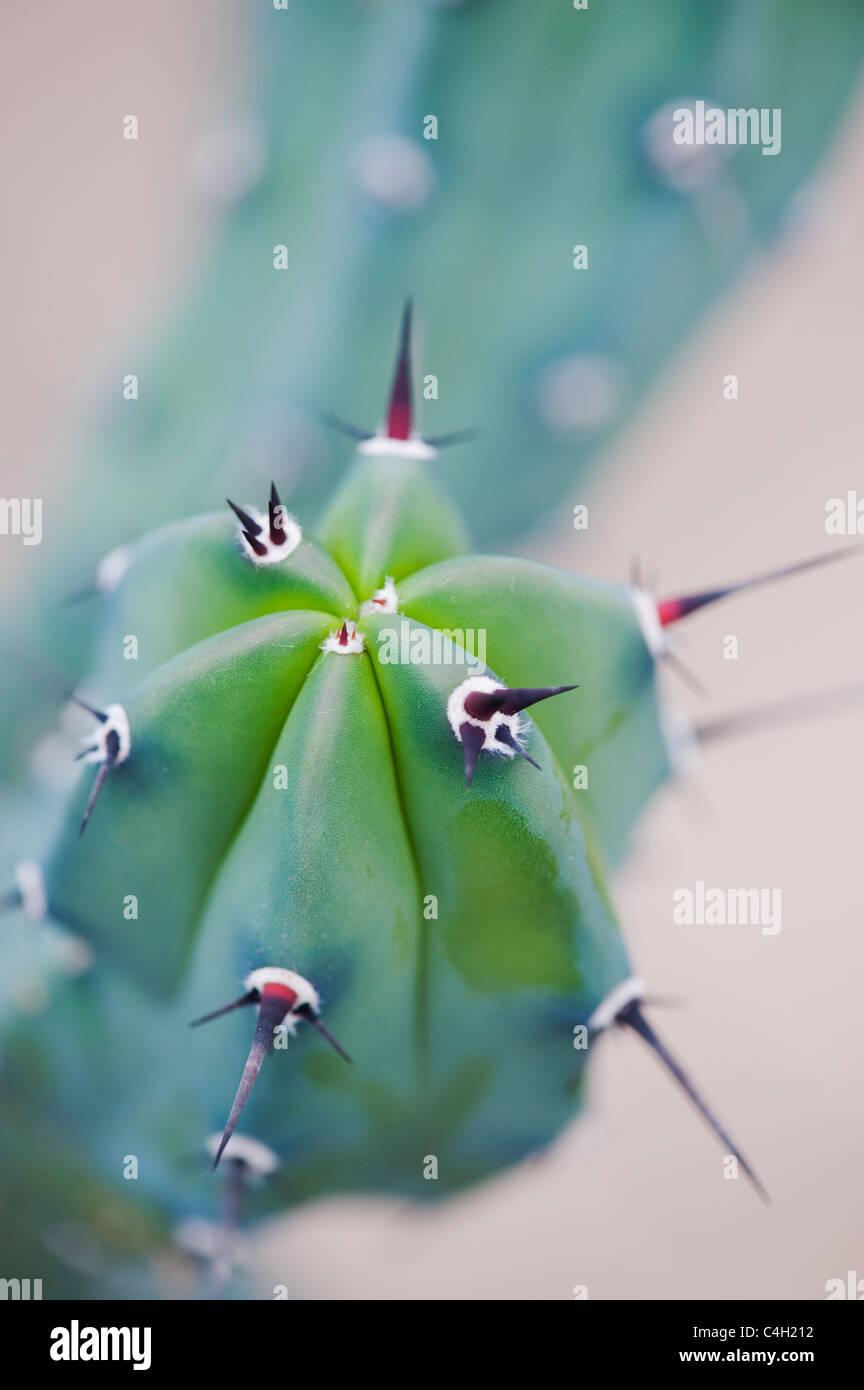 Myrtillocactus geometrizans. Arándano Cactus Imagen De Stock