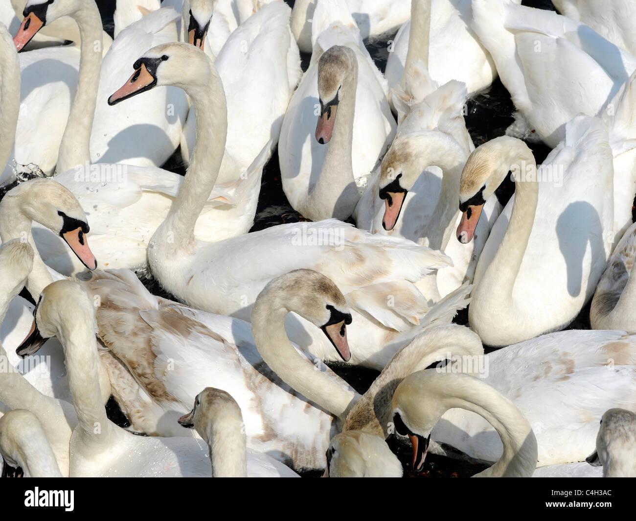 Un gran grupo de cisnes. Foto de stock