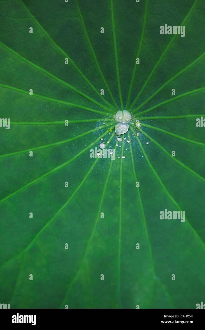 Nelumbo nucifera leaf . Gotas de agua sobre una hoja de loto Imagen De Stock