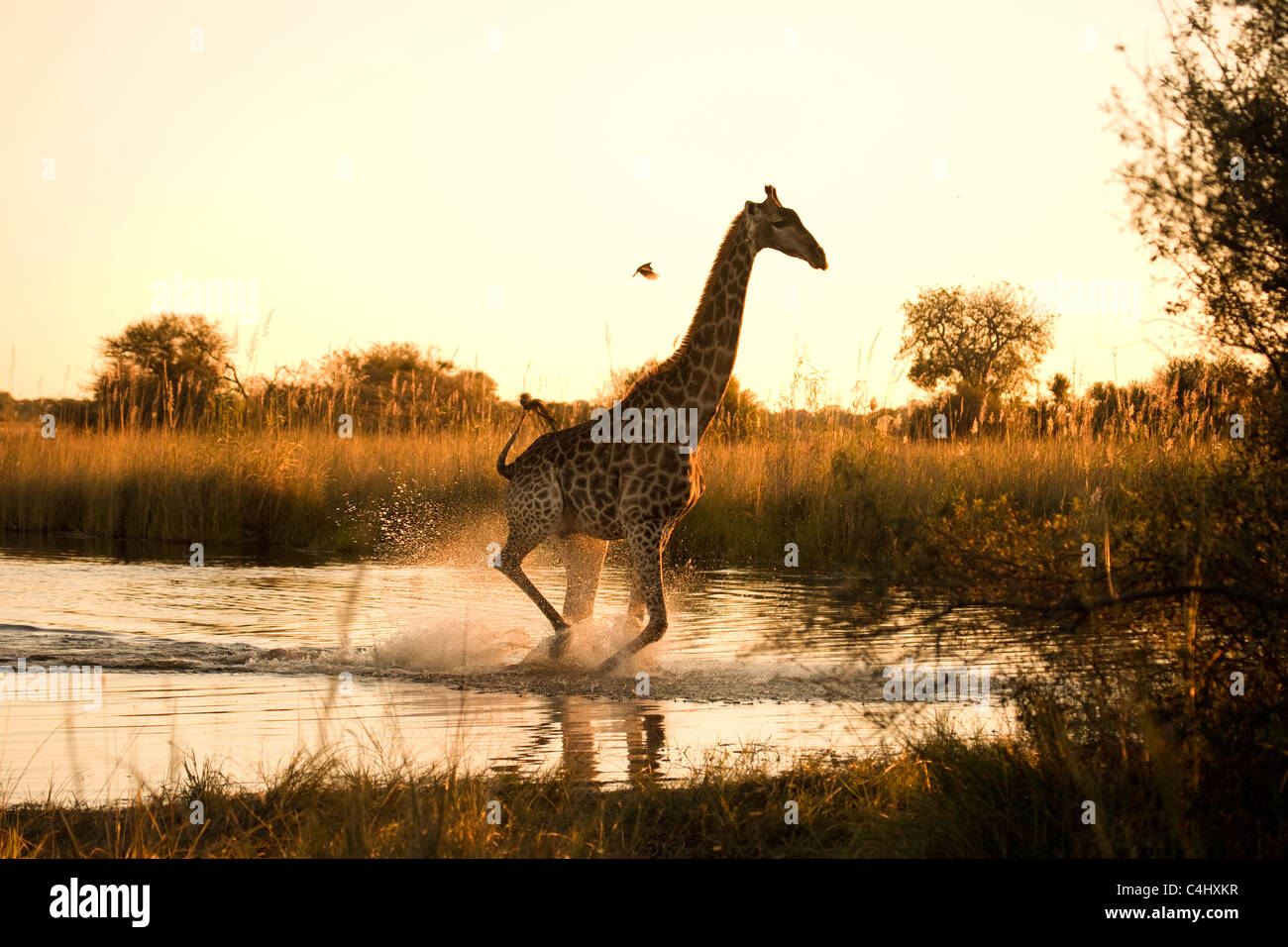 Jirafa (Giraffa camelopardalis) que se ejecuta en un área inundada en el Delta del Okavango, Botswana Imagen De Stock