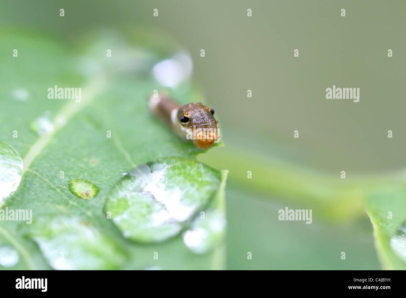 Especie Spicebush larvas spicebush leaf Foto de stock