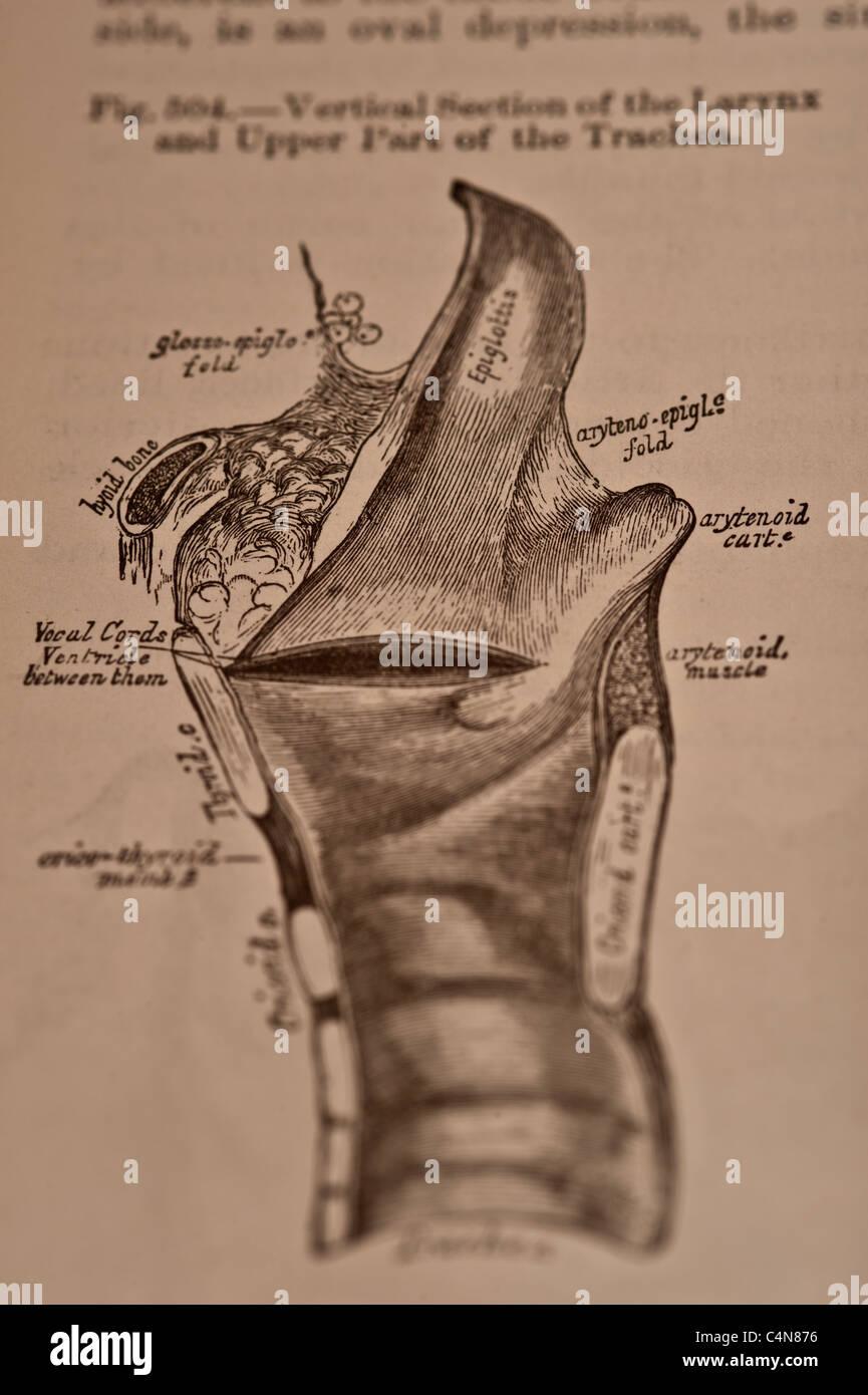 Anatomía quirúrgica y descriptivo Copyright 1883 Grey\'s Anatomy ...