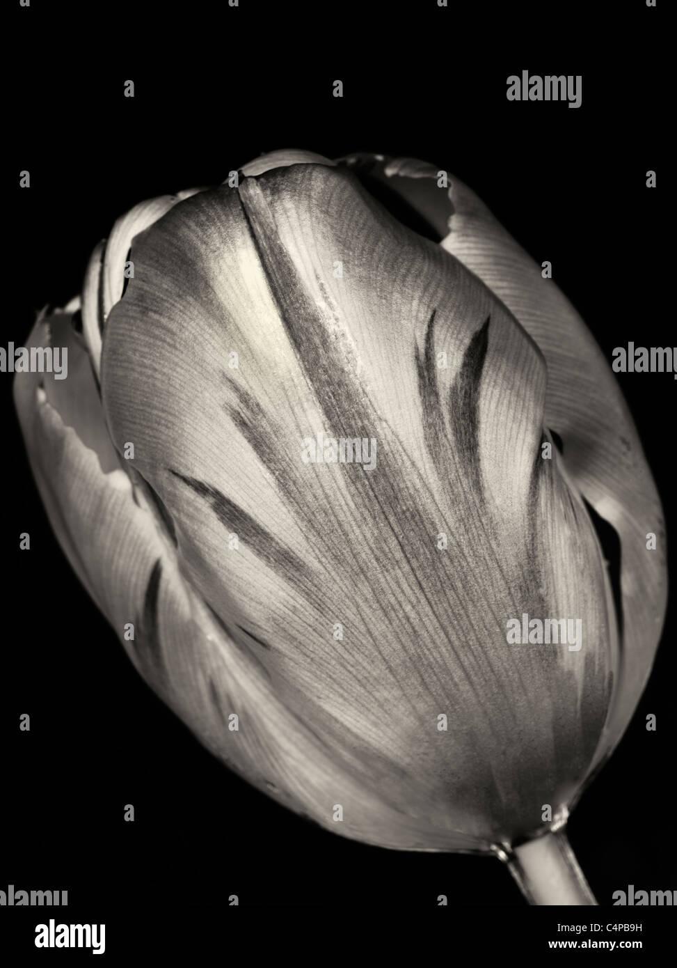 Tulip visto desde debajo del agua. Imagen De Stock