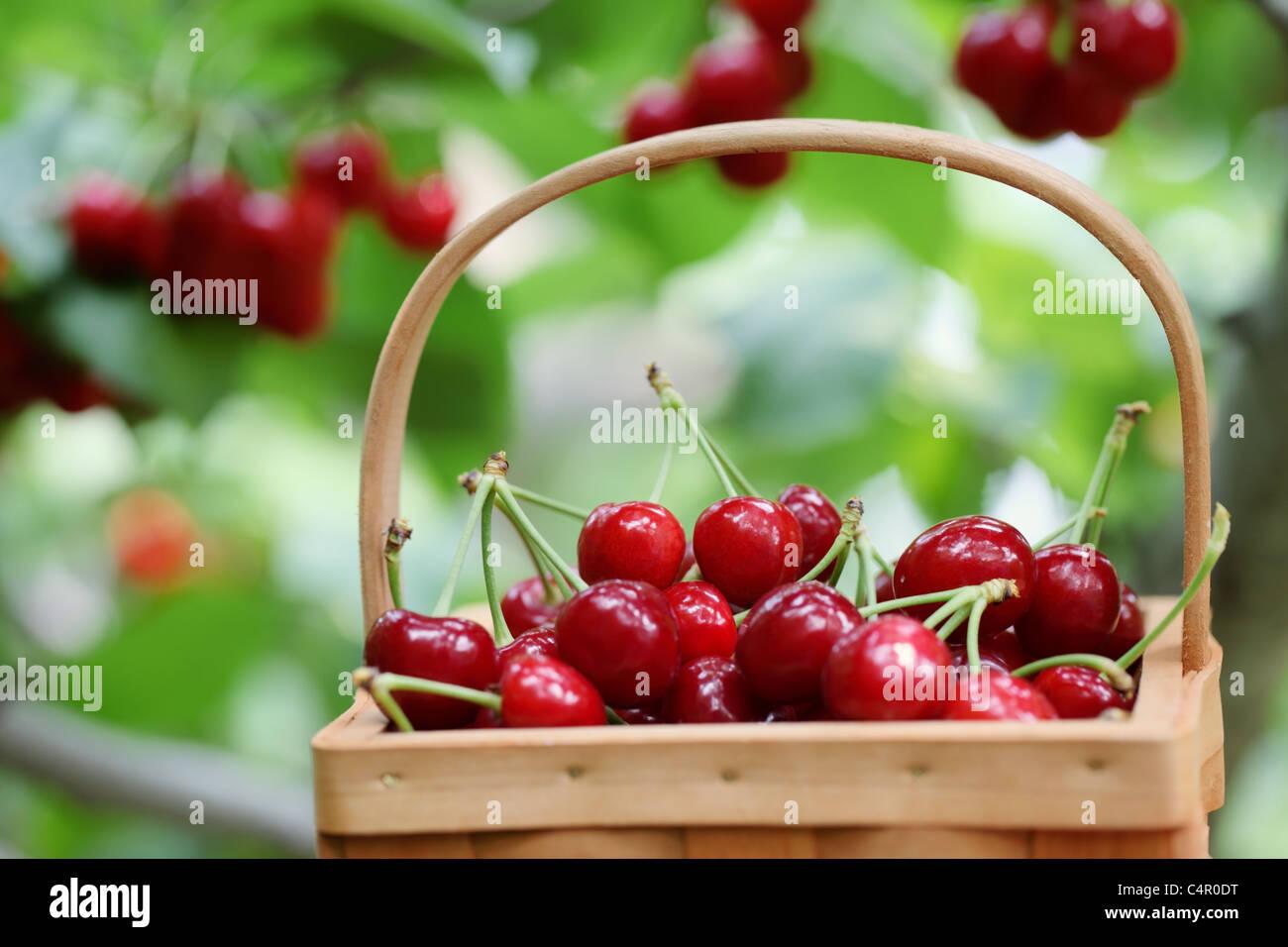 Las cerezas rojas frescas en una escena del huerto ,someras DOF. Imagen De Stock