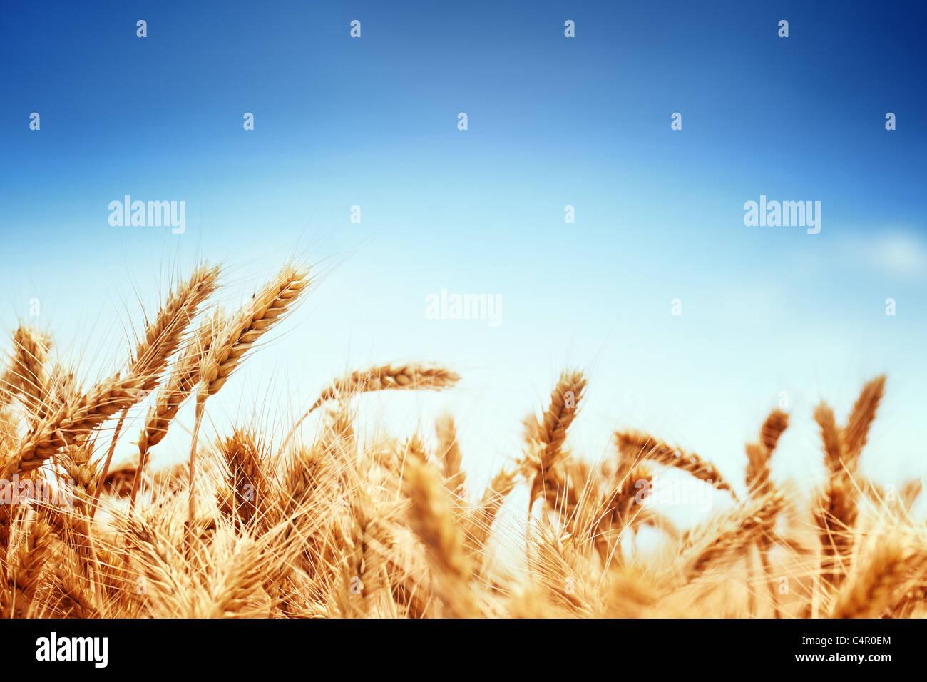 Campo de trigo contra un cielo azul Imagen De Stock