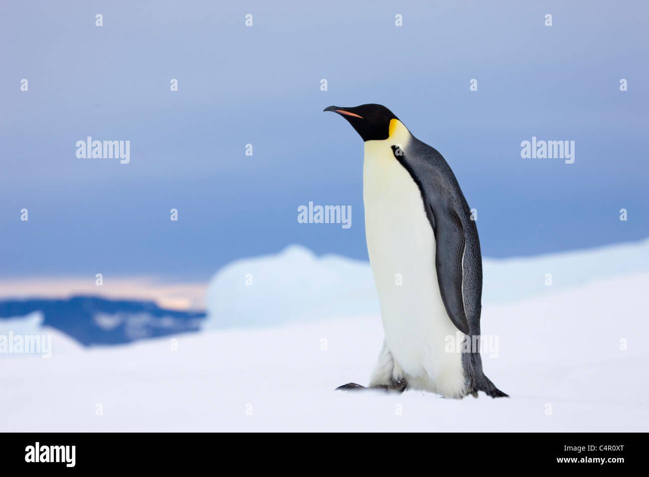 El pingüino emperador en la isla Snow Hill, la Antártida Imagen De Stock