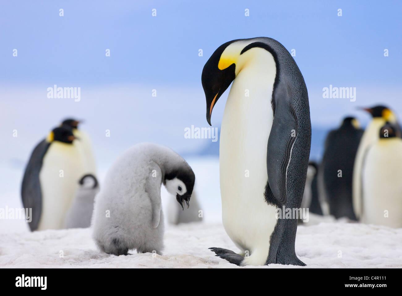 Los pingüinos emperador, padre con pollitos sobre hielo, la isla Snow Hill, la Antártida Imagen De Stock