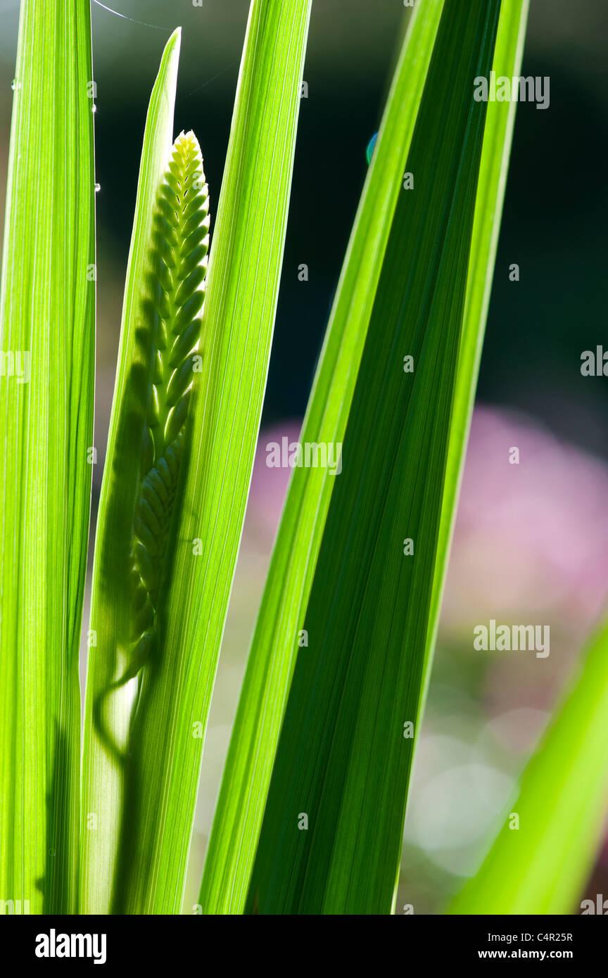 Desarrollo de Crocosmia lucifer retroiluminado con flores en un jardín. Imagen De Stock