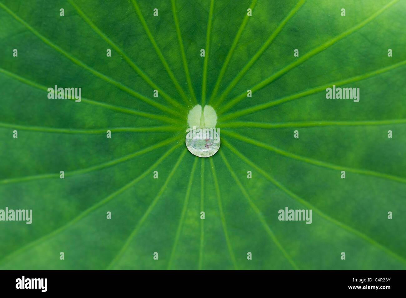 Nelumbo nucifera leaf. Gota de agua sobre una hoja de loto. Imagen De Stock