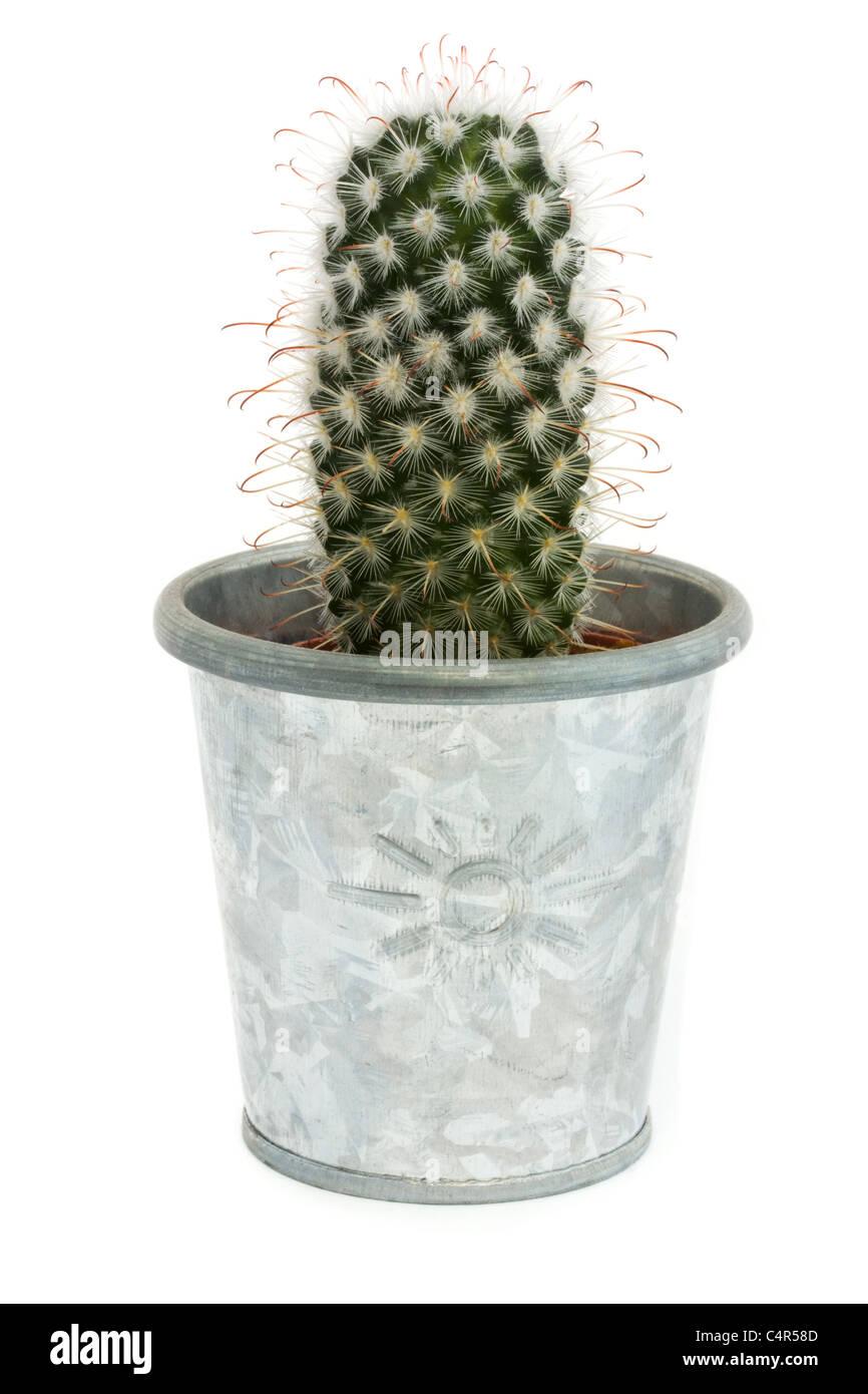 Solo cactus en un recipiente de plata aislado en blanco Imagen De Stock