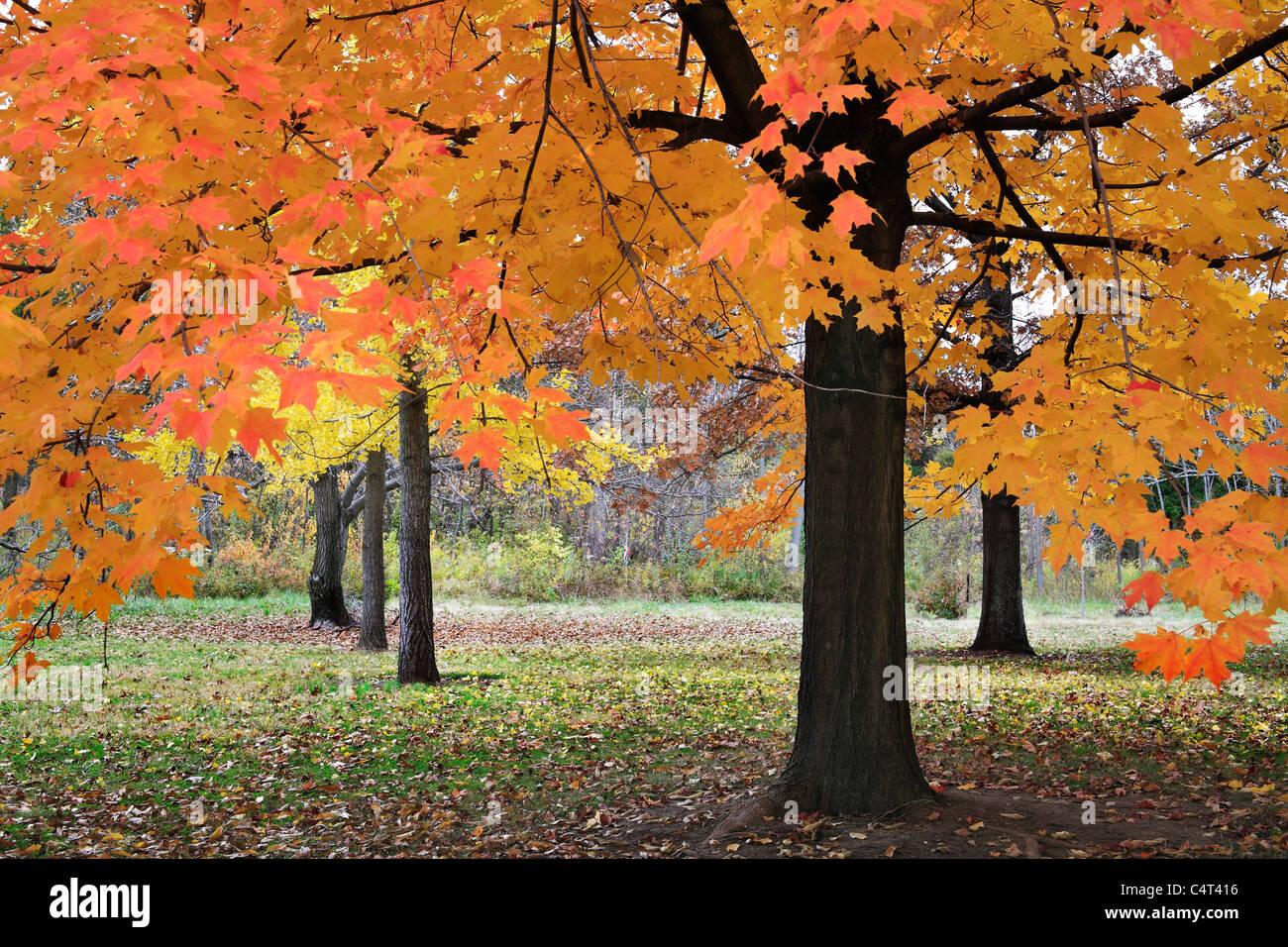 Colores vibrantes producida cuando la luz cae a través de las hojas de otoño en un día nublado en Imagen De Stock