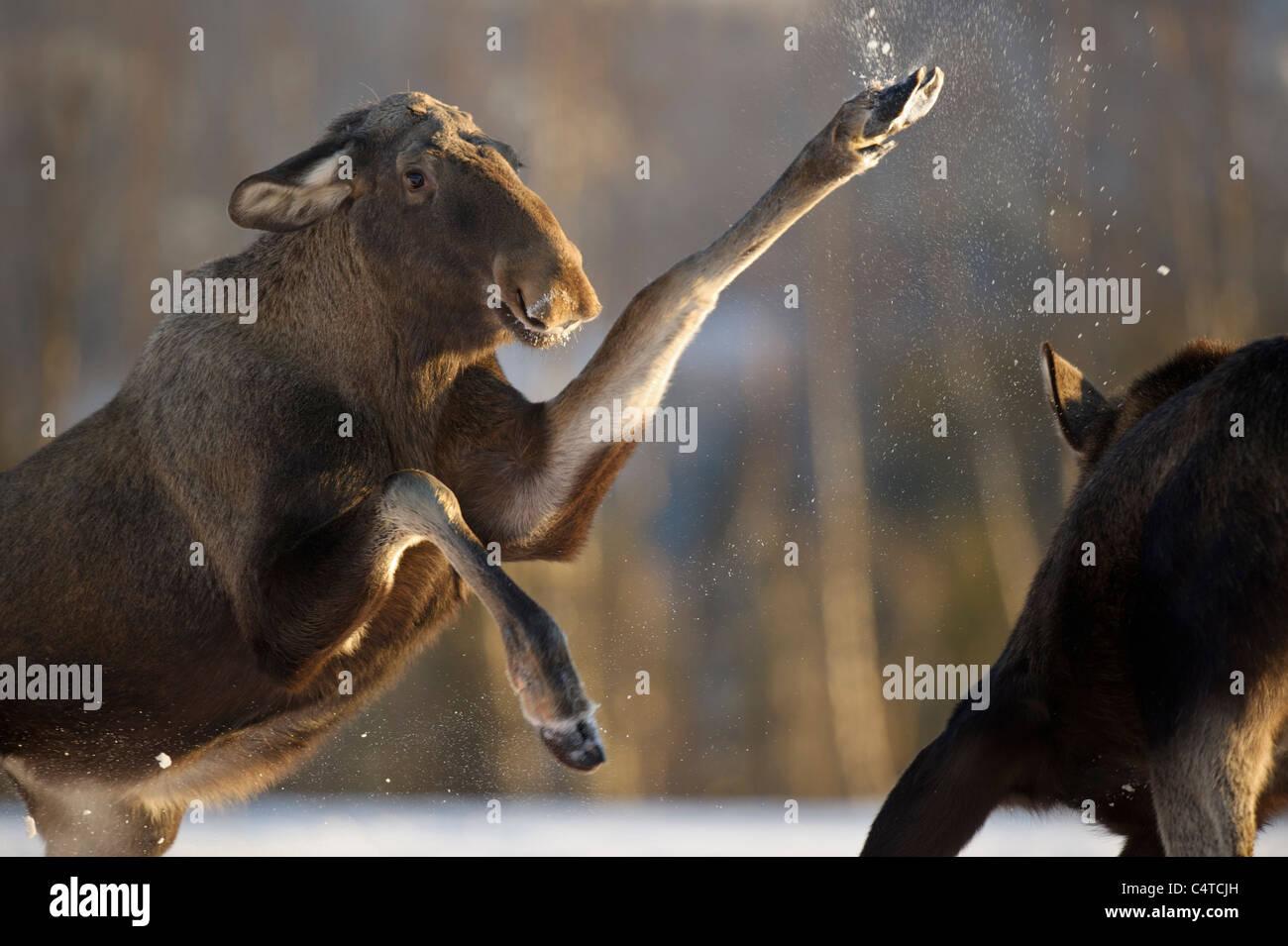 Moose, Unión Elk (Alces alces). Hembras luchando sobre los alimentos, Noruega. Imagen De Stock