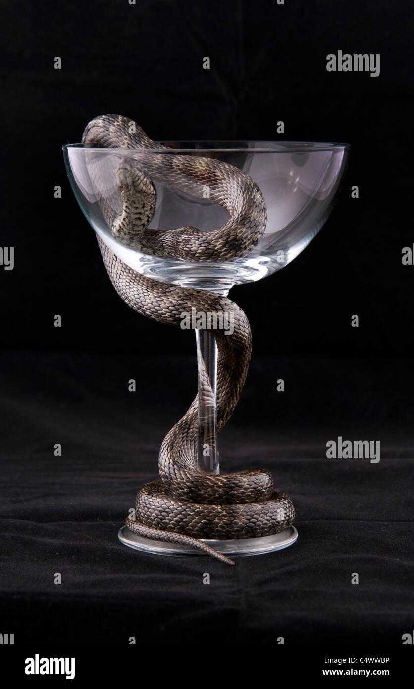 La serpiente se enrosca alrededor del vaso sobre fondo negro Imagen De Stock