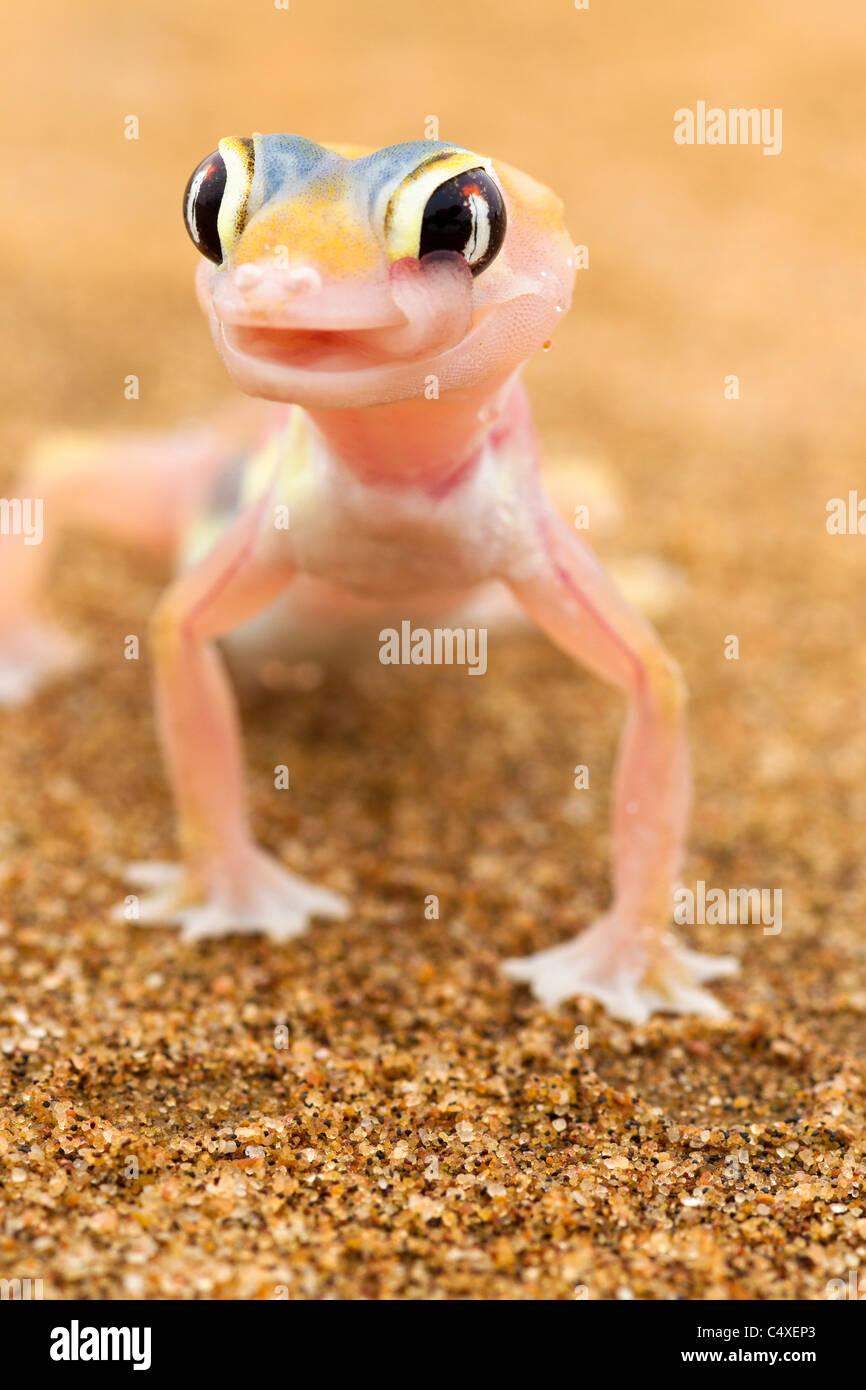 Web-footed Gecko (Palmatogecko rangei). Los animales nocturnos que viven en su mayoría anidado en profundas Imagen De Stock