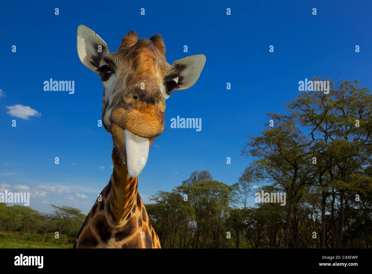 Girafas Rothschild (Giraffa camelopardalis rothschildi) es una de las 9 subespecies de jirafas.Giraffe Manor Kenia. Imagen De Stock