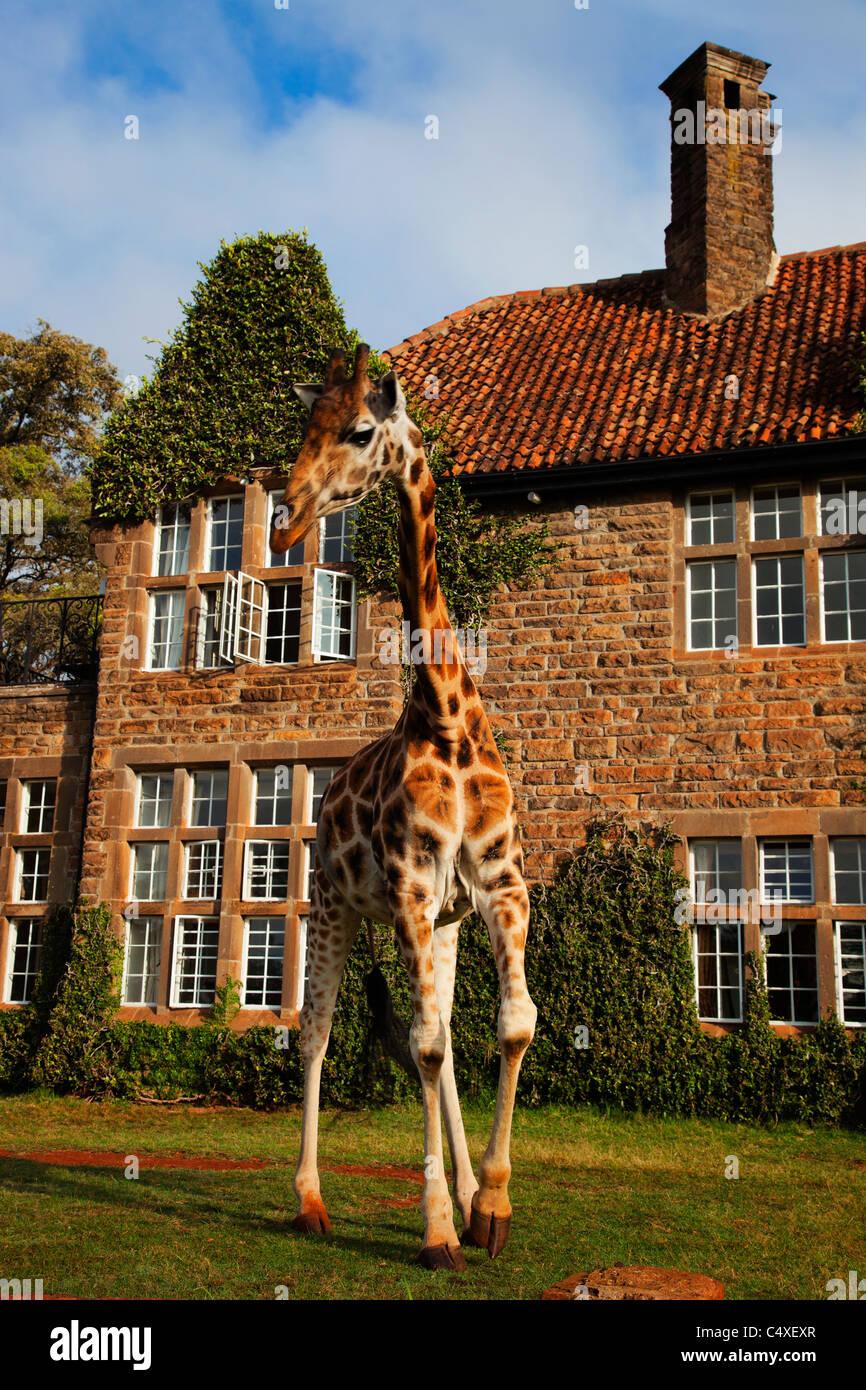 Girafas Rothschild (Giraffa camelopardalis rothschildi) es una de las 9 subespecies de jirafas.Griaffe Manor Kenia. Imagen De Stock