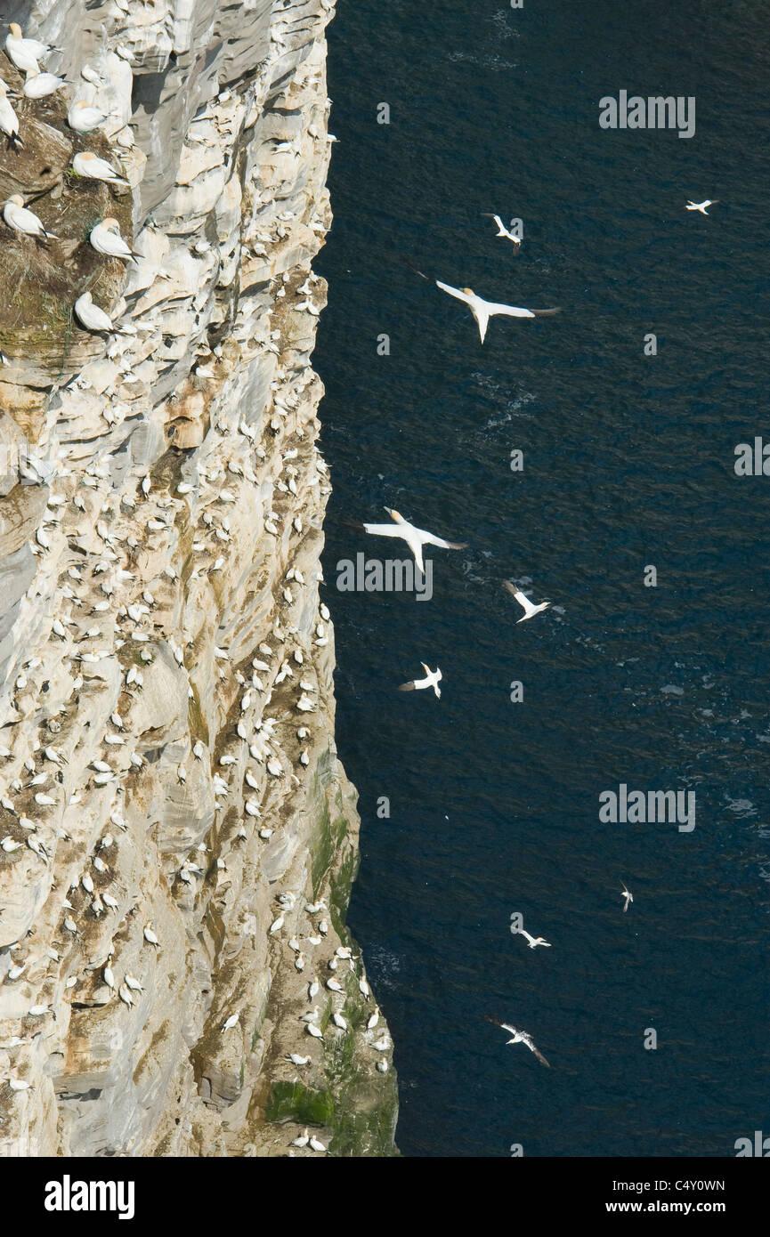 Alcatraces (Sula bassana) colonia reproductora, la isla de Noss Reserva Natural Nacional, Islas Shetland, REINO UNIDO Foto de stock