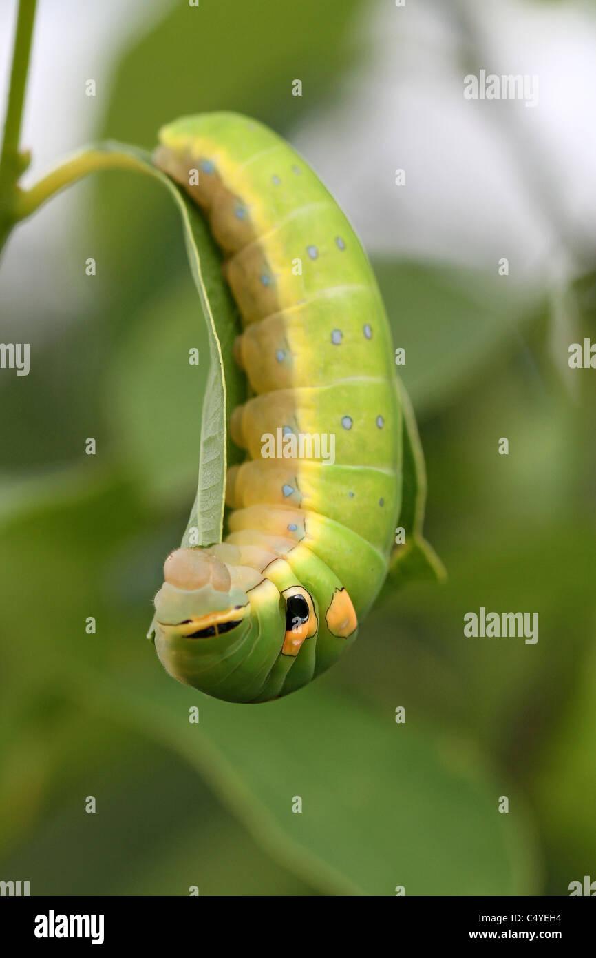 Especie Spicebush larvas comiendo hojas Foto de stock