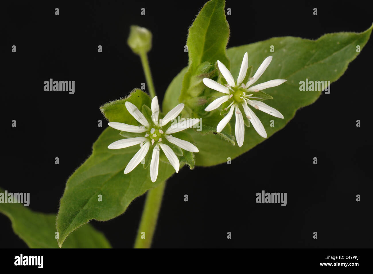 Agua (chickweed Mysoton aquaticum) flores Imagen De Stock