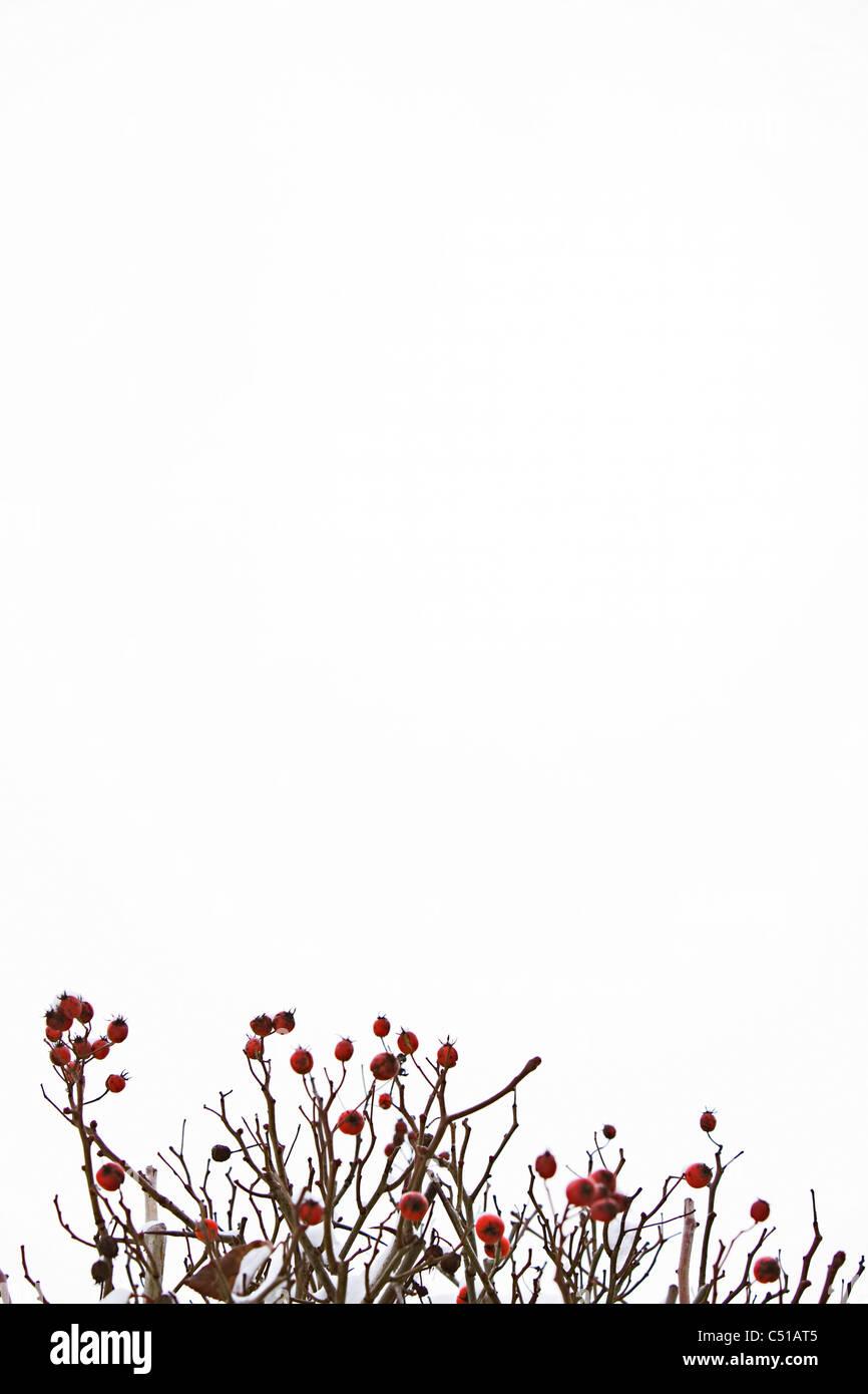 Los frutos rojos sobre bush en invierno Imagen De Stock