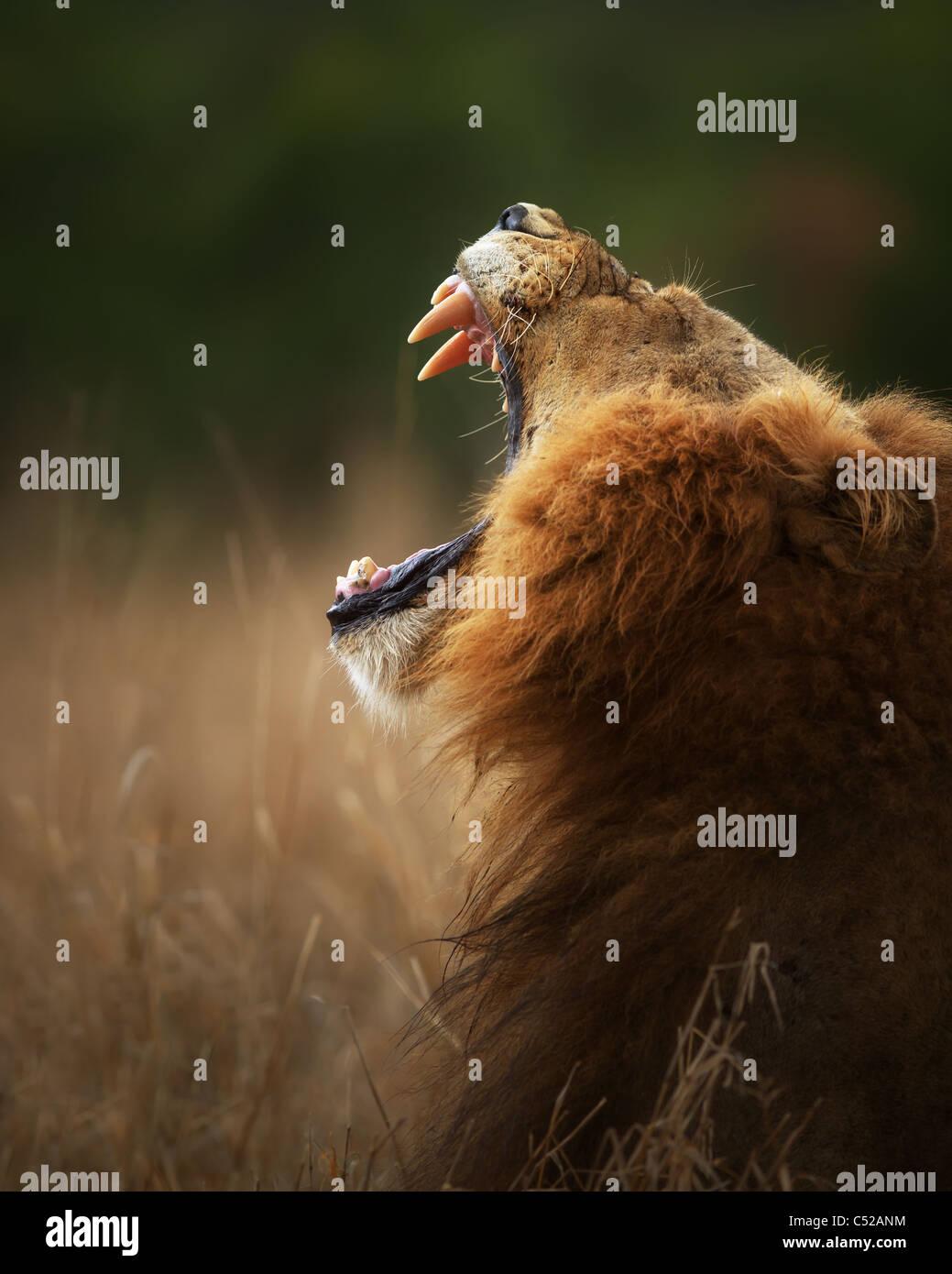 Lion muestra dientes peligrosos cuando el bostezo - Parque Nacional Kruger - Sudáfrica Imagen De Stock