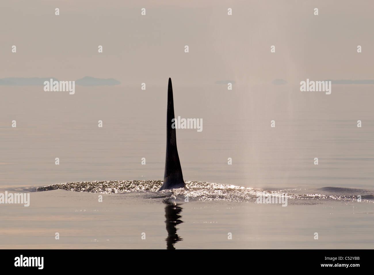 Tall aleta dorsal de una Orca macho adulto grande aflora en el Estrecho de Chatham al atardecer, dentro del pasaje, Imagen De Stock