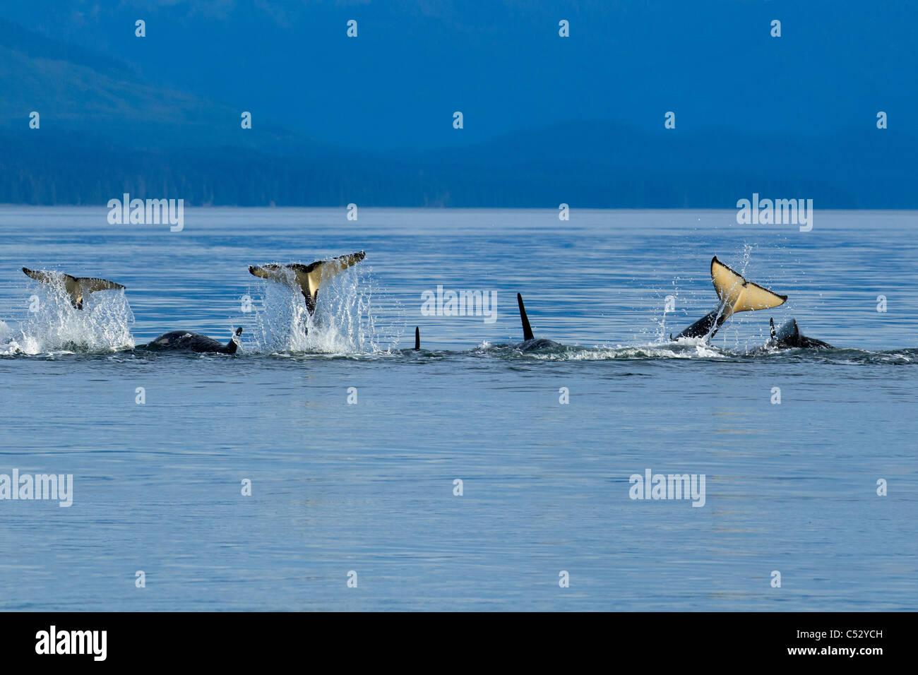 Orcas festivamente bofetada sus colas en la superficie en Chatham, dentro del estrecho pasaje, sureste de Alaska, Imagen De Stock