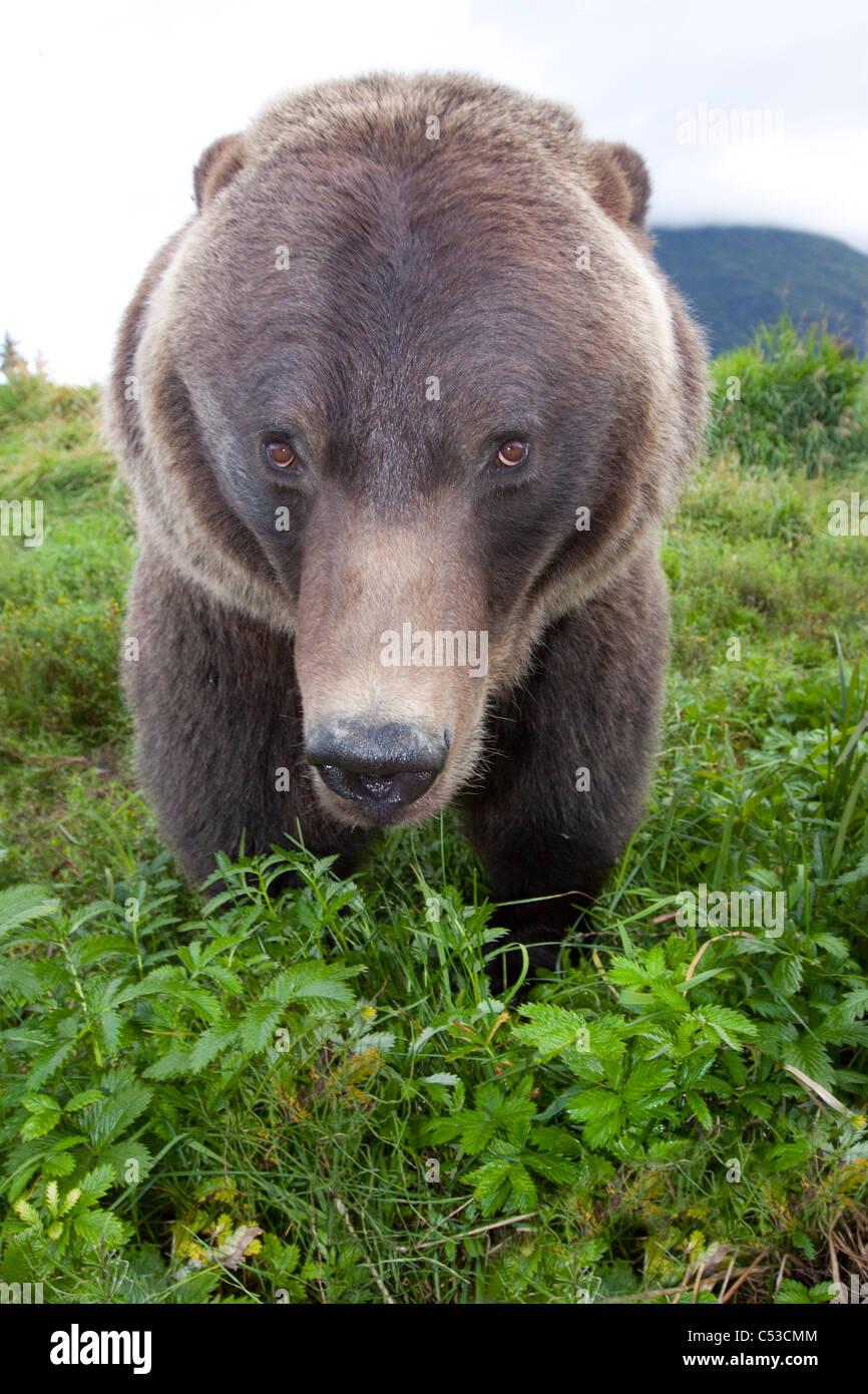 Cerrar vista gran angular de un oso pardo en el Centro de Conservación de la vida silvestre de Alaska, Southcentral Imagen De Stock