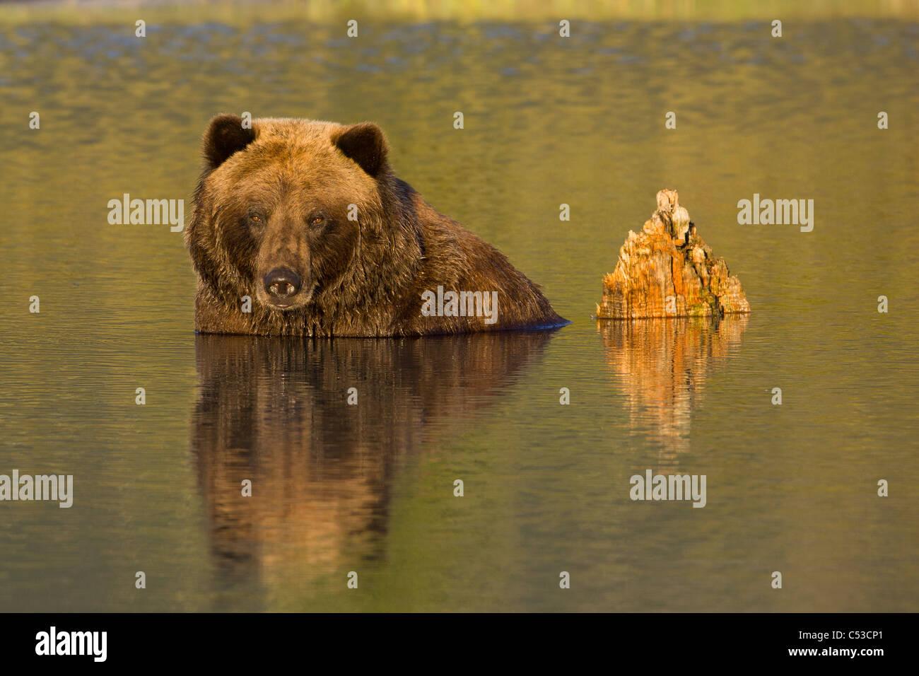 Una hembra de oso pardo mayormente sumergido en agua en Alaska Wildlife Conservation Center, Southcentral Alaska, Imagen De Stock