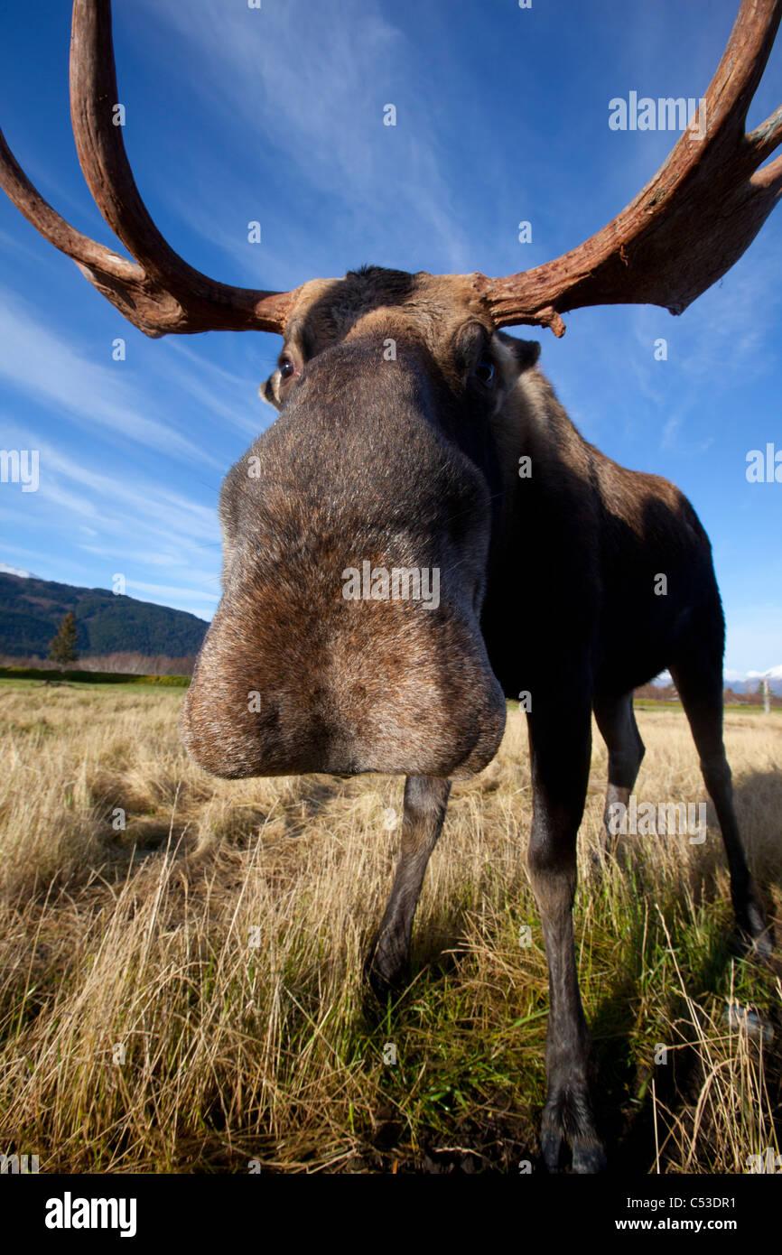 Un gran angular de vista cercana de un toro alces en Alaska Widllife Conservation Center, Southcentral Alaska, Otoño. Imagen De Stock