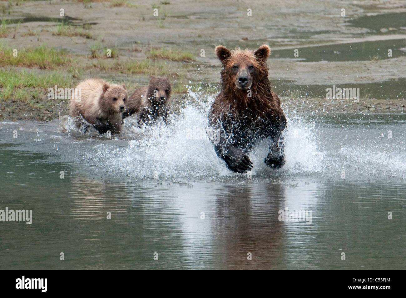 Oso Pardo sembrar salmón perseguirá mientras los cachorros ver desde la playa, la Bahía Chinitna, Imagen De Stock