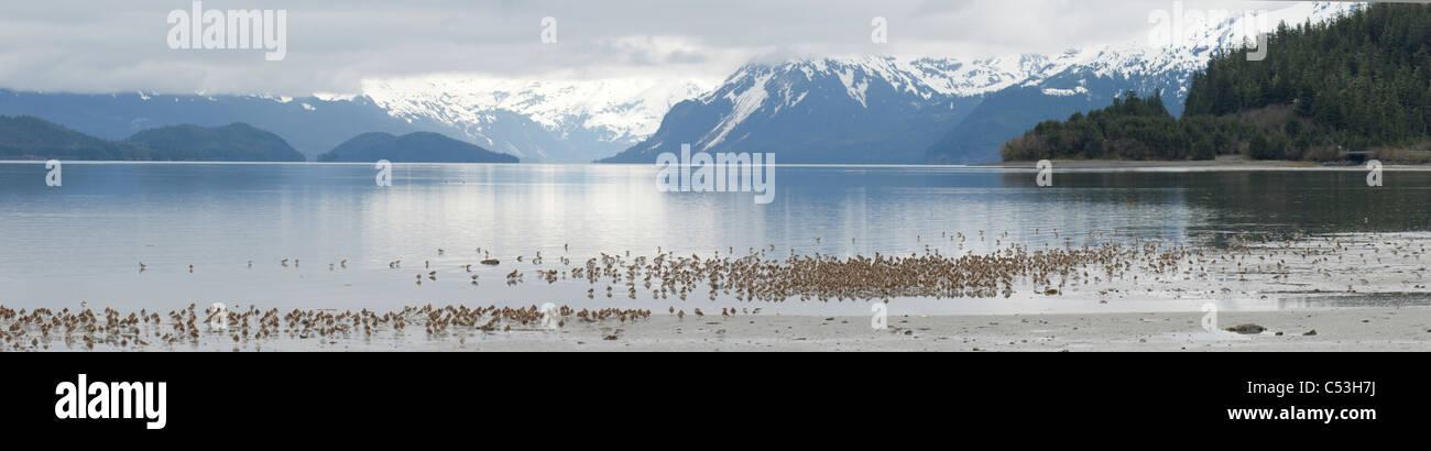 Cientos de playeritos occidentales se reúnen en el borde de una marea entrante en Hartney Bay en el Bosque Imagen De Stock