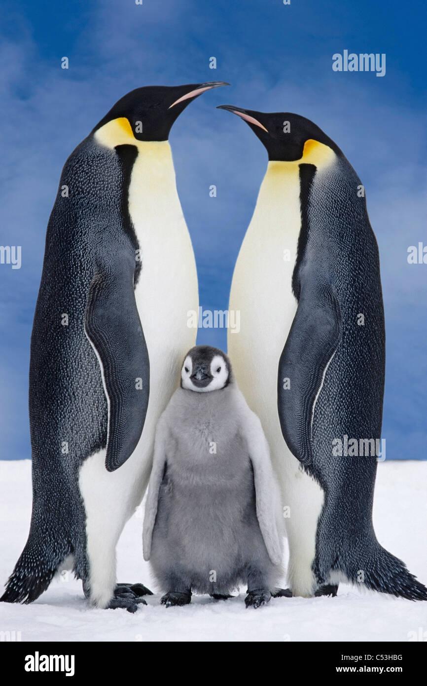 Retrato de pingüino emperador Padres & Chick, Atka Bay, en la Antártida, compuesto Imagen De Stock