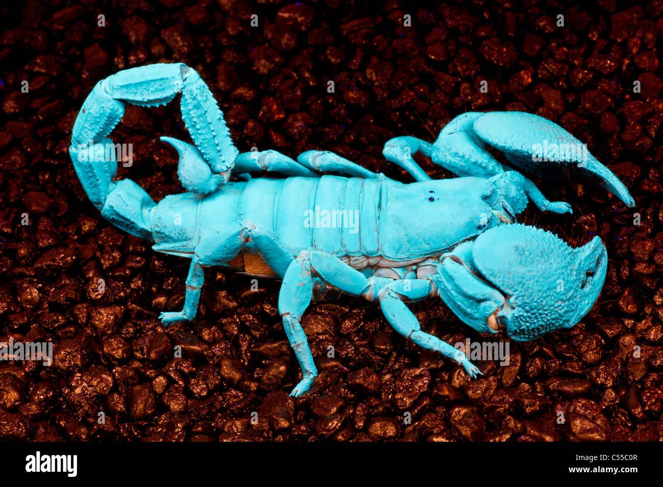 Imperial Scorpion Imágenes De Stock & Imperial Scorpion Fotos De ...