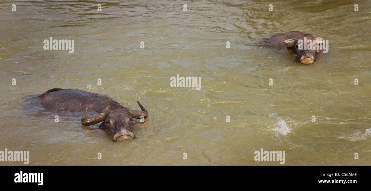 Dos contento búfalo de agua manteniendo enfriar en agua, Vietnam. Bubalus bubalis Imagen De Stock