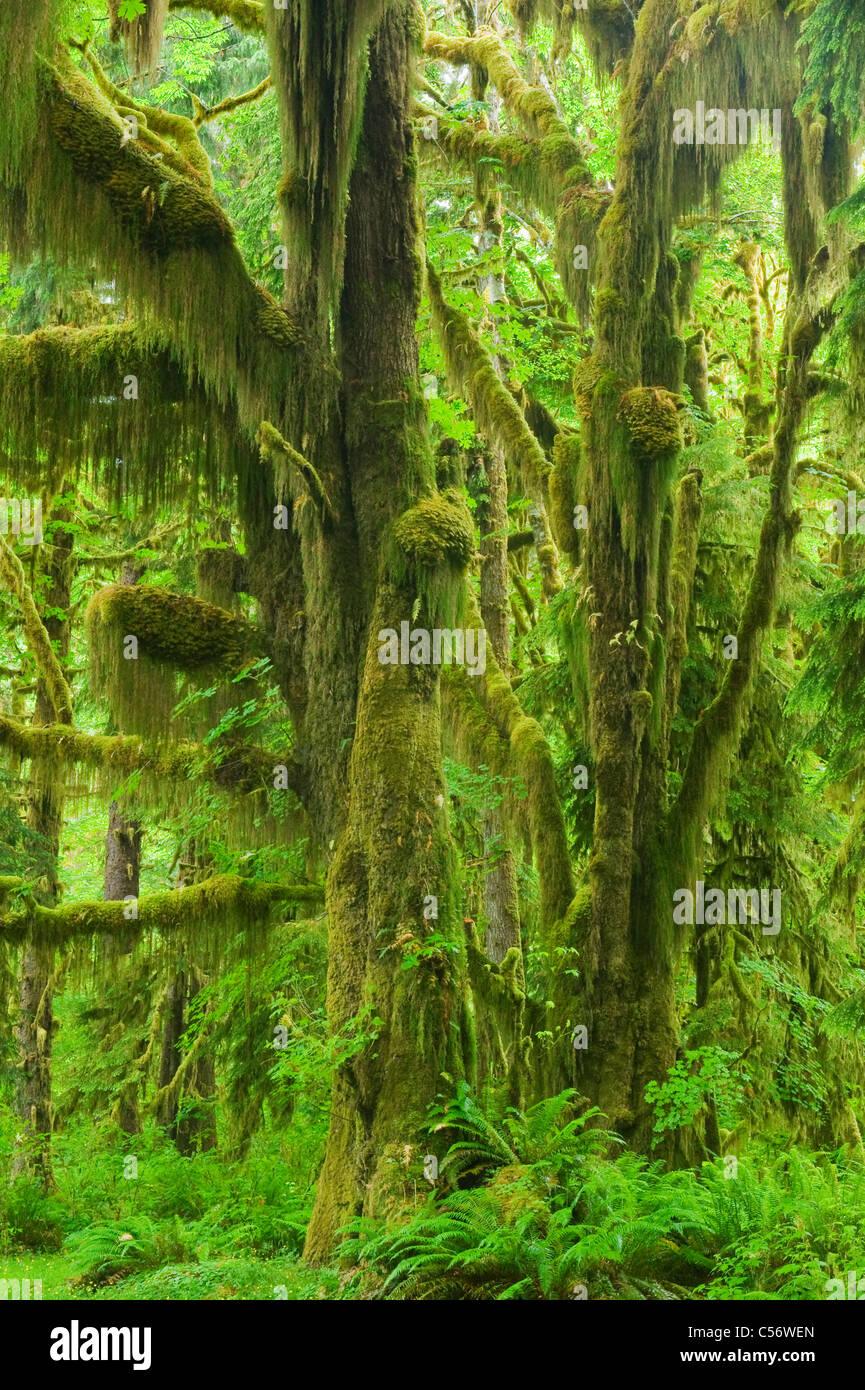 Cubiertos de musgo Bigleaf arces, bosques lluviosos templados, Hoh River Valley, el Parque Nacional Olympic, Washington Foto de stock