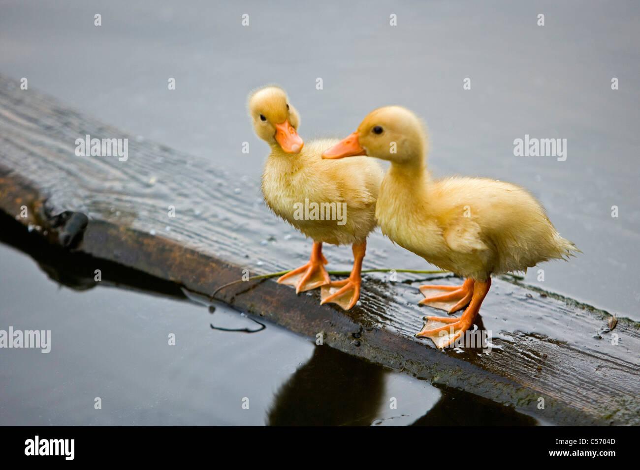 Los Países Bajos, 's-Graveland. Wild duckings sobre madera Imagen De Stock