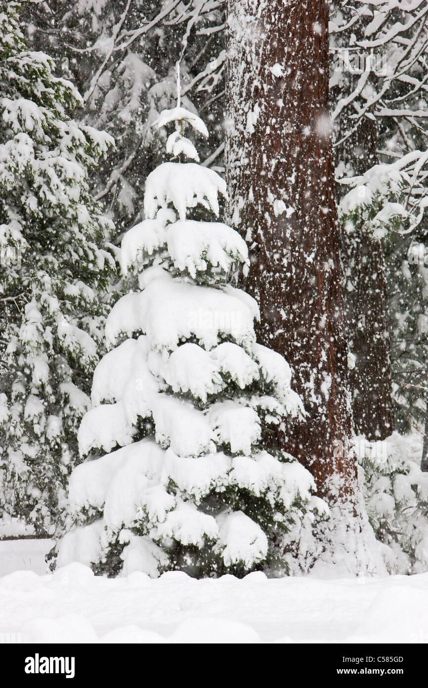 Un joven Pacífico El pino Ponderosa (Pinus benthamiana) árbol enterrado en la nieve durante una tormenta de nieve Foto de stock
