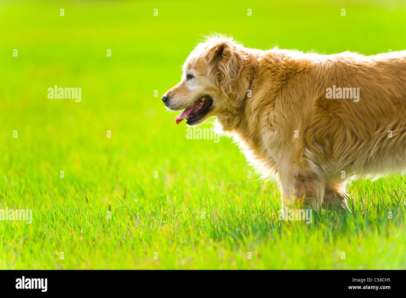 Una hermosa, elegante, viejo, hembra golden retriever de pie en un campo en la noche, la luz del sol Foto de stock