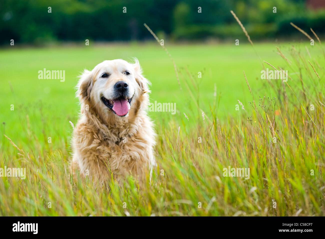 Un hermoso, viejo, hembra golden retriever tomando un descanso, se sentó en un campo mientras dando un paseo Imagen De Stock