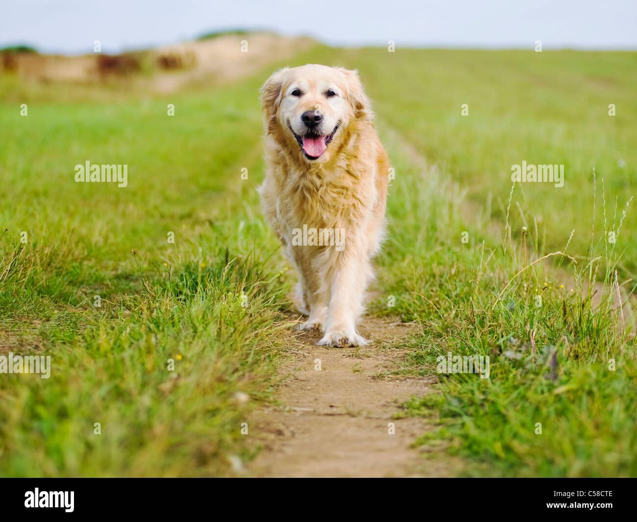 Elegante Golden Retriever hembra antiguo dando un paseo por la Campiña Foto de stock